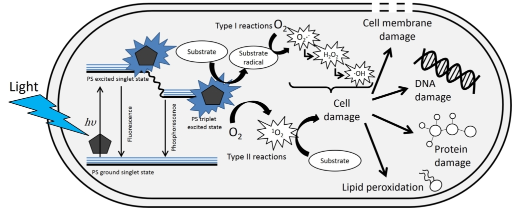 Schematic of microbial cell disruption by light generated Reactive Oxygen Species. ©Tara Vollmerhausen/Conor O'Byrne, NUI Galway